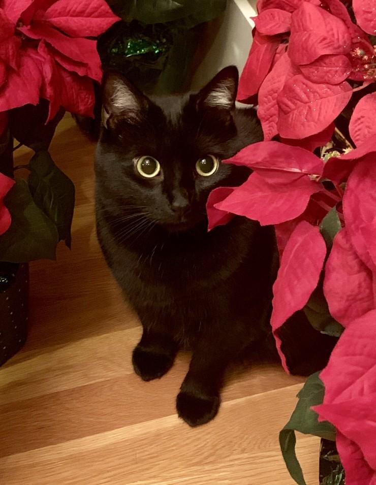 gato con flor de pascua