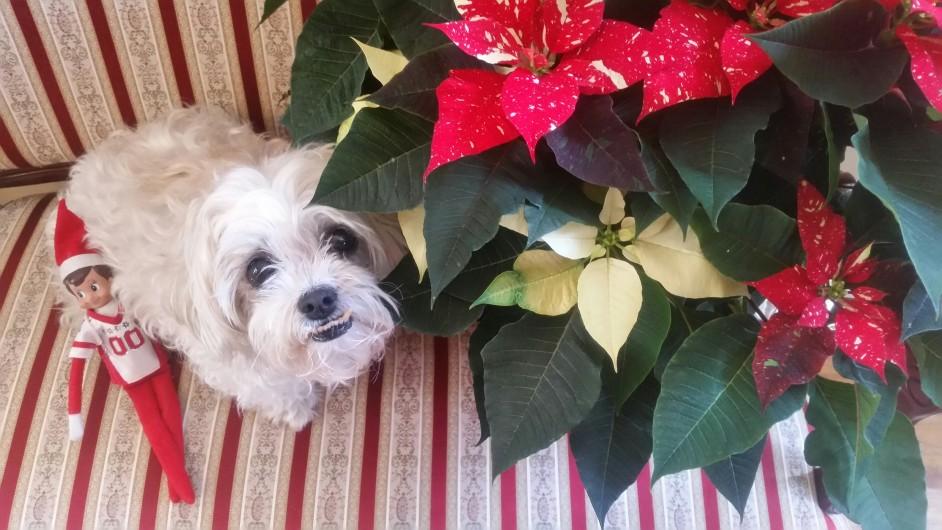 Perro con flor de Pascua