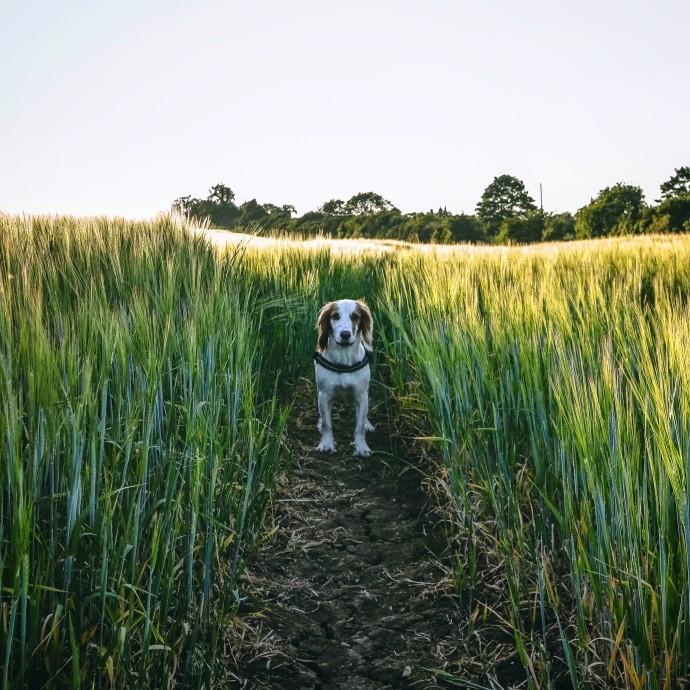 perro en campo de espigas
