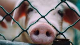 cerdo enjaulado