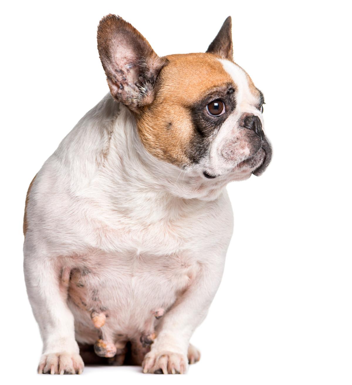 Bulldog francés con cancer de mama