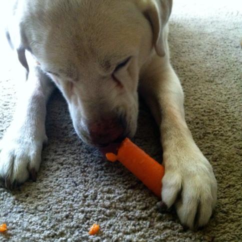 perro comendo zanahoria
