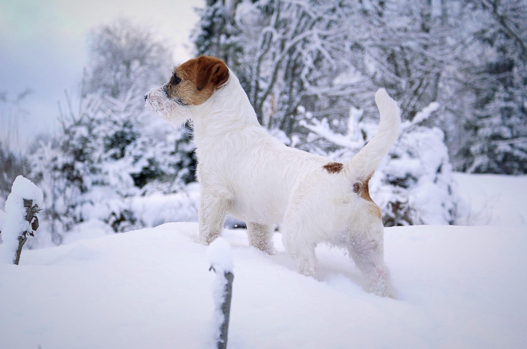 Perros en la nieve