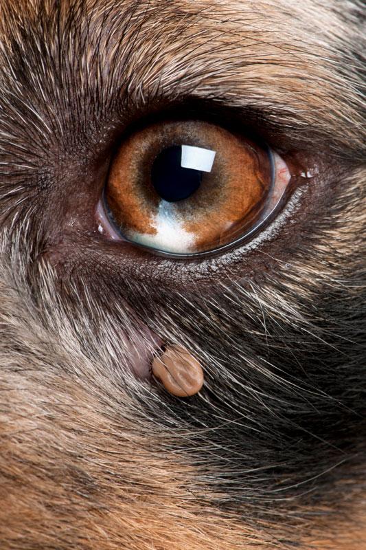Garrapata cerca del ojo