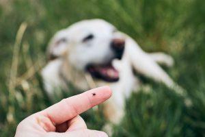Garrapata en un dedo