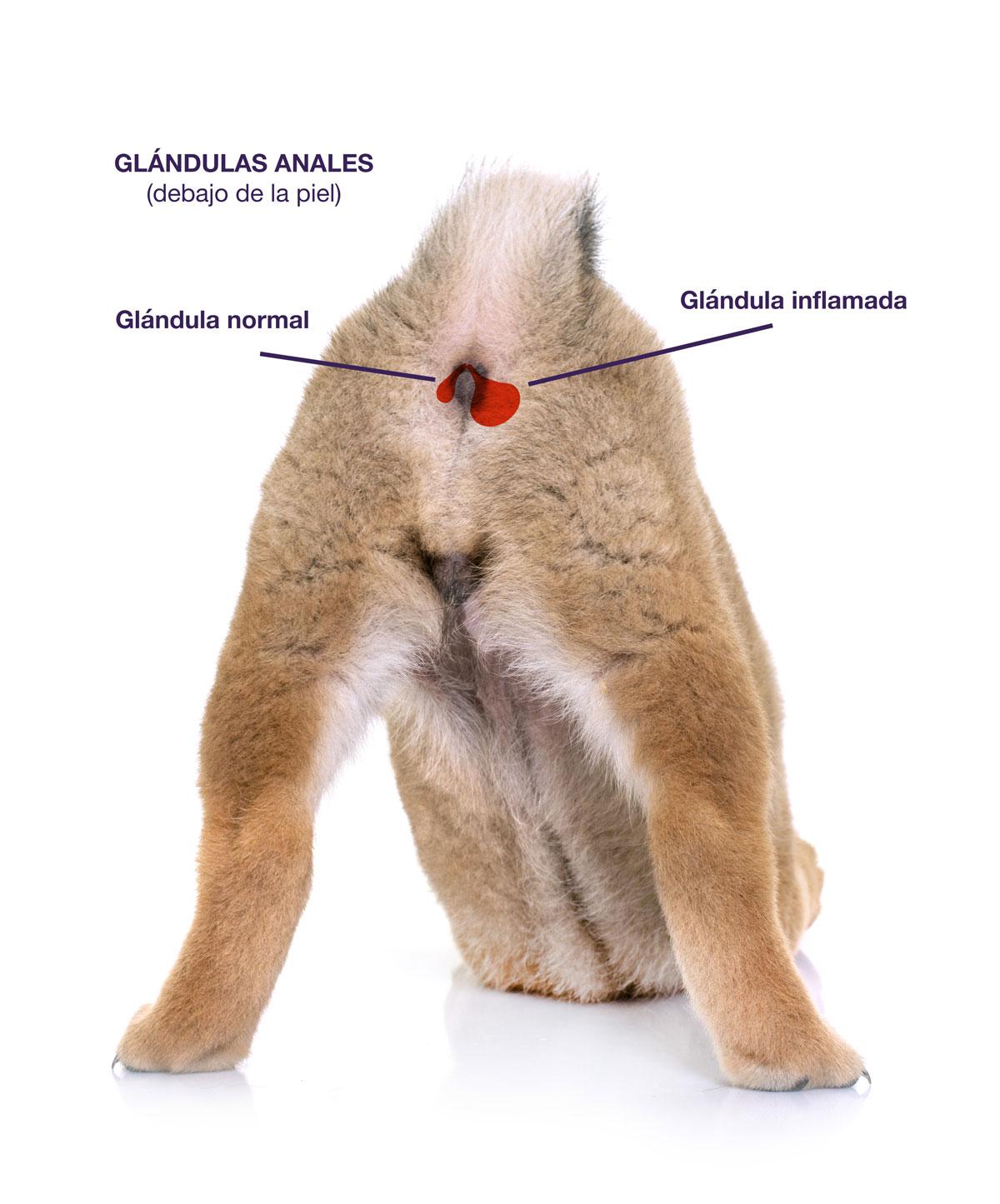 Glándulas anales de perro