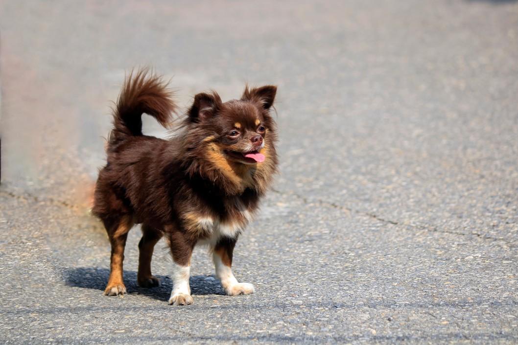 Pomeranian en asfalto